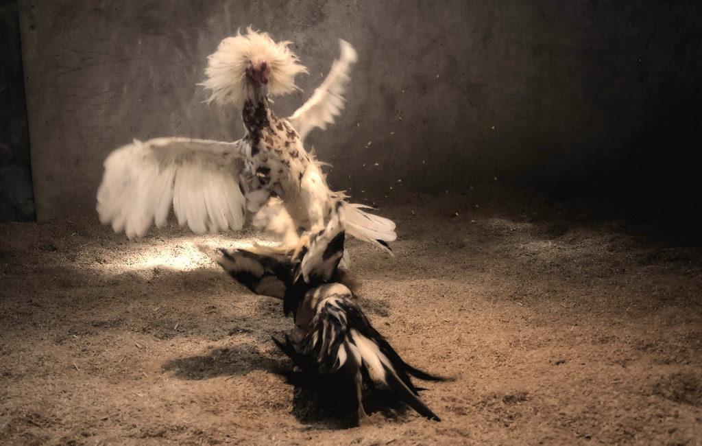 Penyakit Ayam Jago Aduan Yang Harus Anda Waspadai Sebagai Pemilik Ayam
